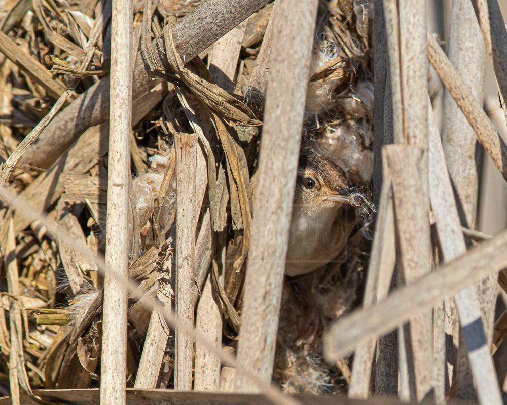 Marsh wren, Bradford, VT