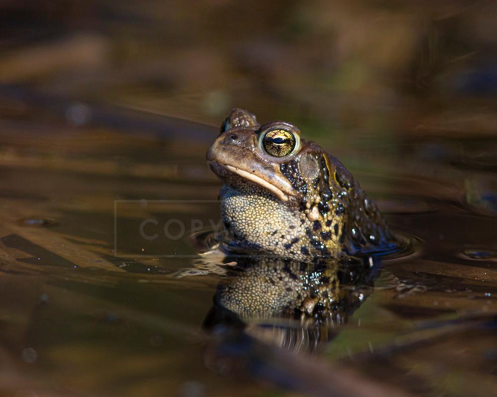 American toad, Bradford, VT