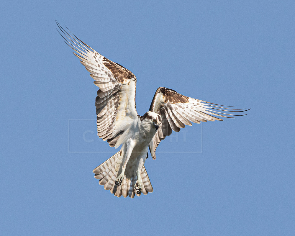 Osprey hovering while hunting