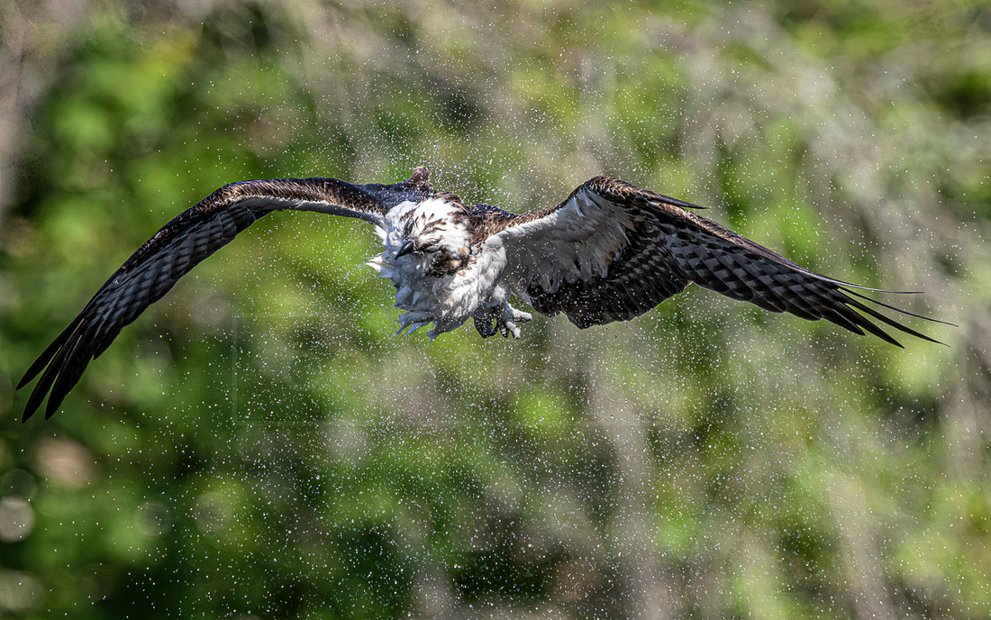 Osprey shaking after a dive