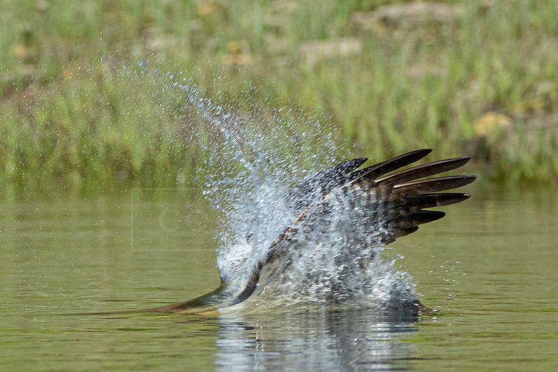 Diving osprey hitting the water
