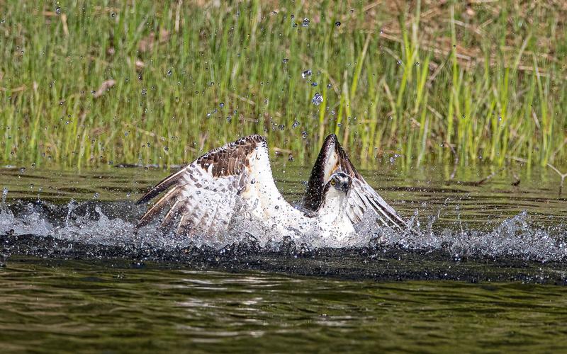Osprey around the Saint George River, Warren, Maine