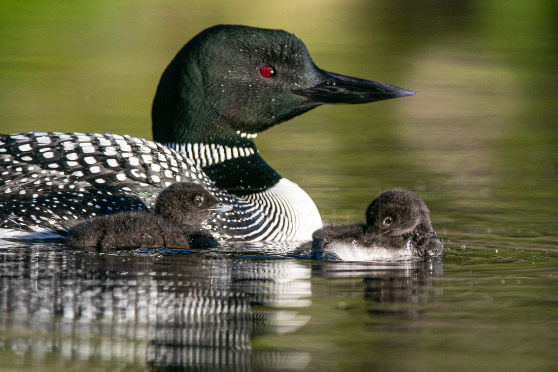 Common loons with chicks