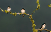 Tree Swallows in the Fog