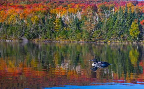 Loon in Fall Color
