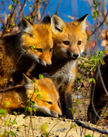 Fox Kit Family Portrait
