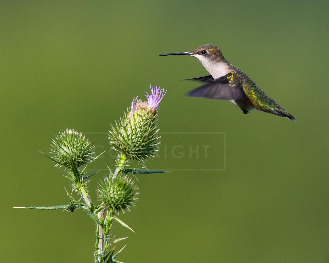 Female ruby-throated hummingbird feeding on thistle flowers