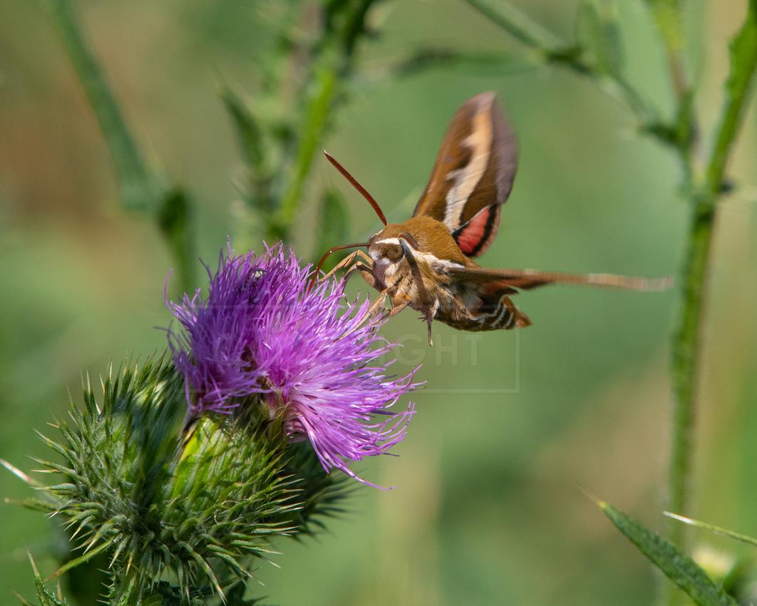 Bedstraw hawk-moth or galium sphinx, feeding on thistle flower