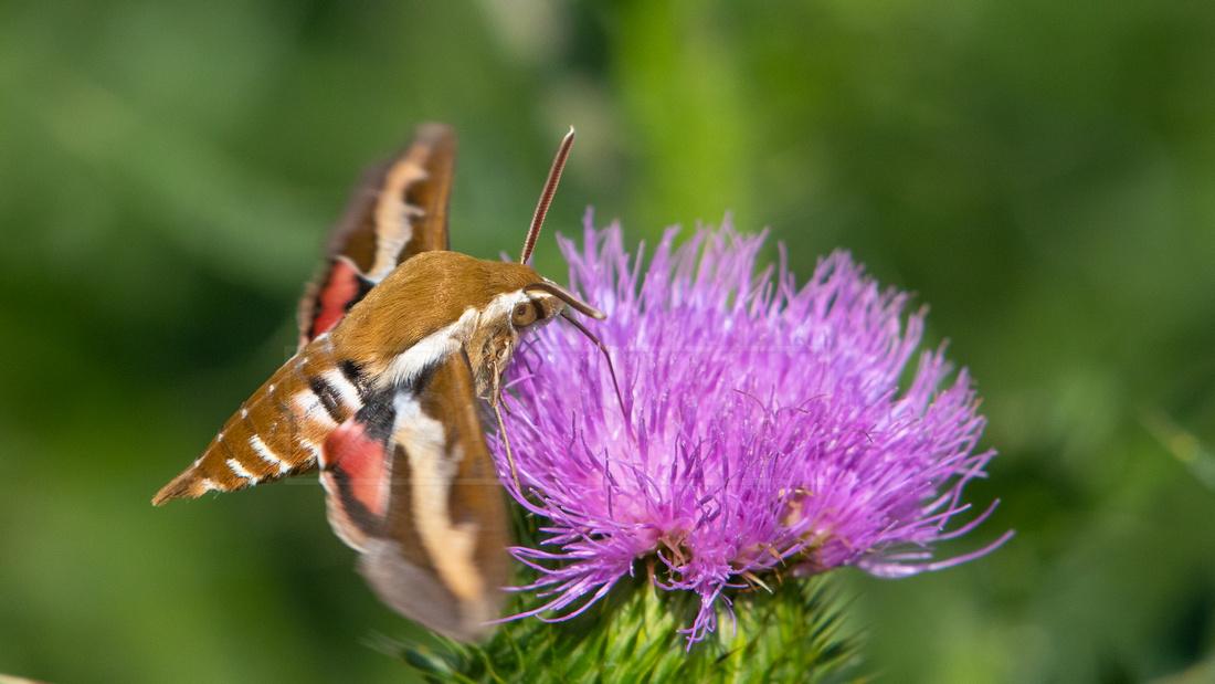 Bedstraw hawk-moth or galium sphinx, feeding on thistle flower,