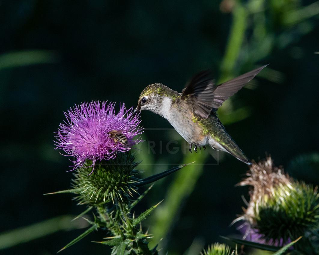 Female ruby-throated hummingbird feeding on thistle flower