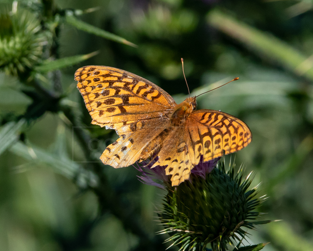 Great spangled fritillary butterflly