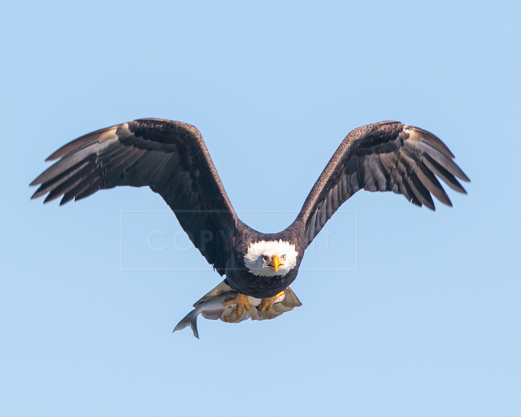 A bald eagle flying with a fish