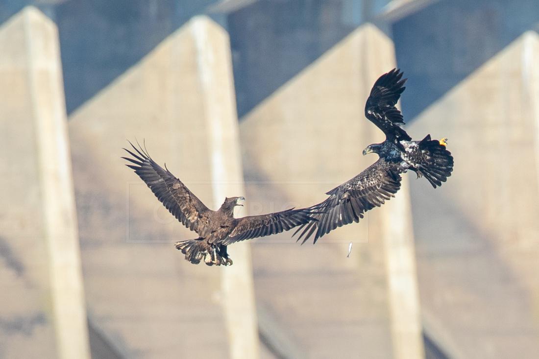 Juvenile bald eagles squabbling over a fish