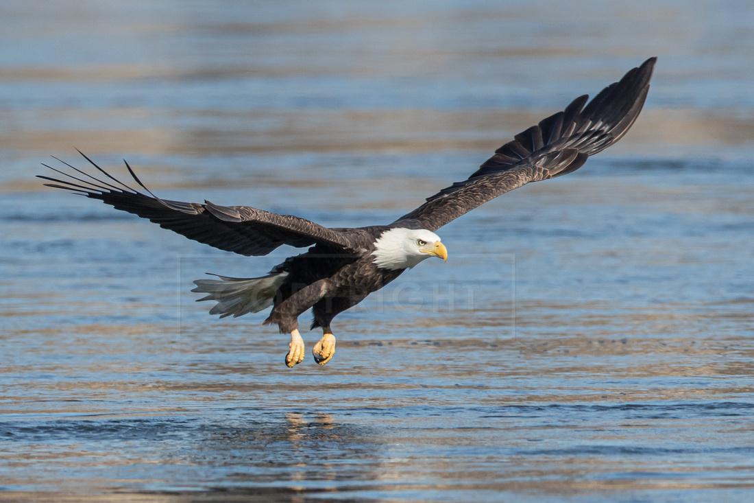 A bald eagle fishing