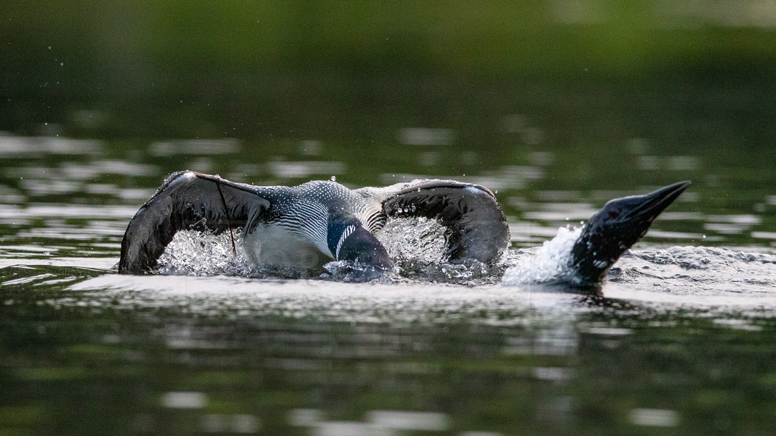 Common loons fighting over territory