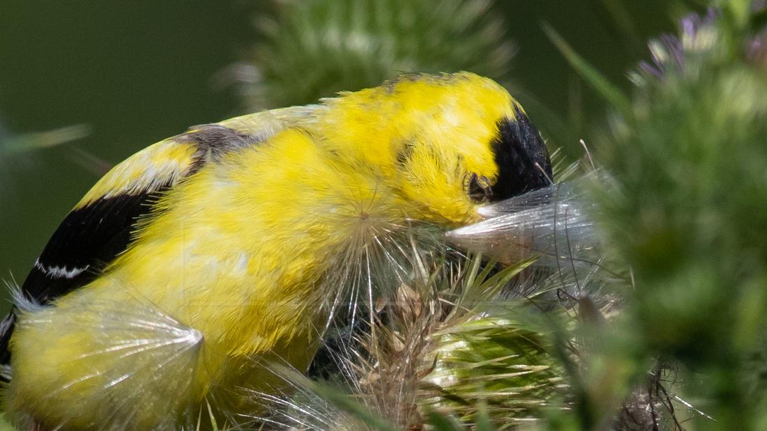 American goldfinch feeding on thistle